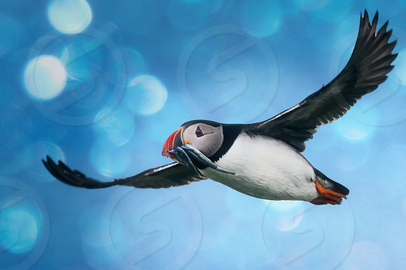 Atlanticpuffinbirdflightnaturebokeh photo