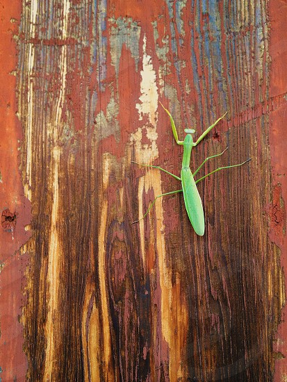 green praying mantis photo