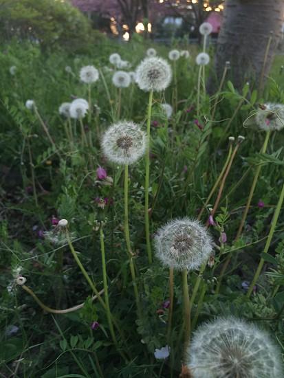 タンポポの綿毛(dandelion fluff) photo