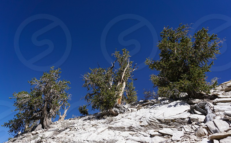 Three ancient Great Basin Bristlecone Pine trees on a bare rocky ridge in the White Mountains of California are several thousand years old. In a warming climage they face threats to continued existence. photo