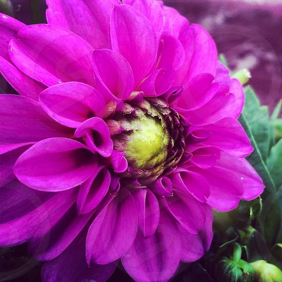 plant bloom magenta yellow  photo