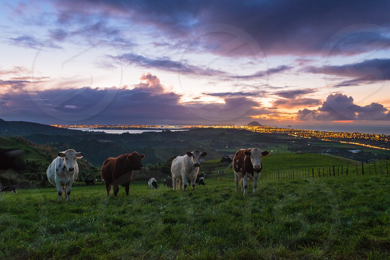 Papamoa Hills at sunset with curious cattle photo