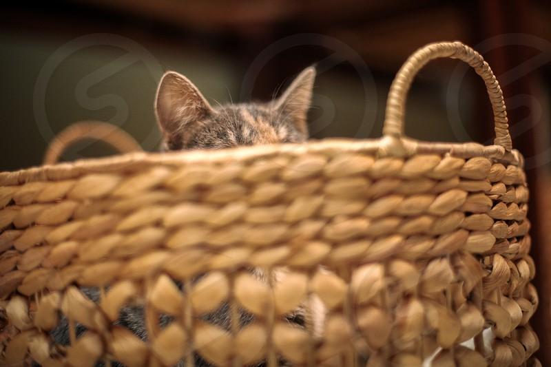 The pets in our lives. Family creature baby fuzzy little friend kitten cat feline ears basket. photo