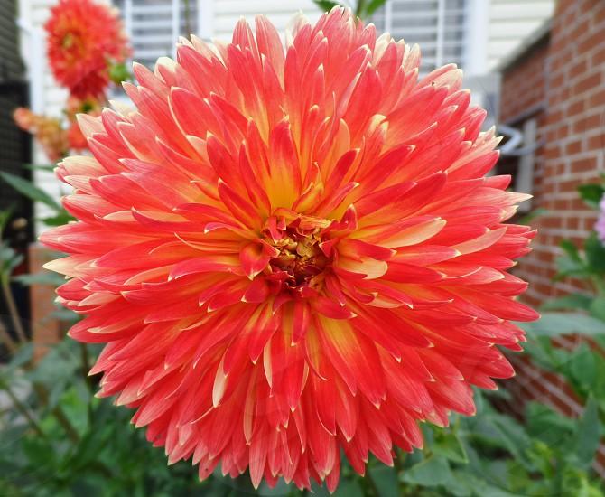 flower red macro garden  photo