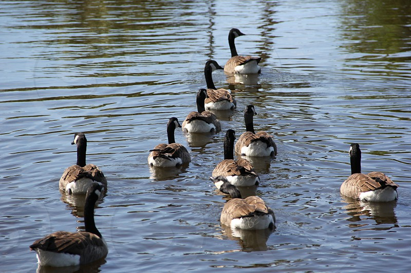 Flock of Geese photo