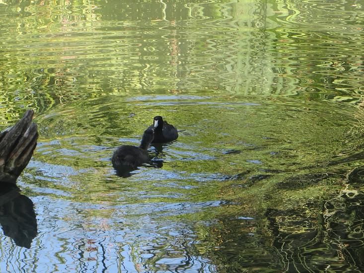 black ducks on water photo
