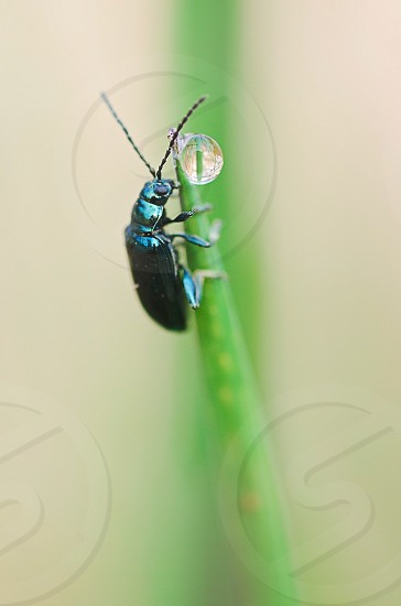 Tiny blue beetle on a blade of grass photo