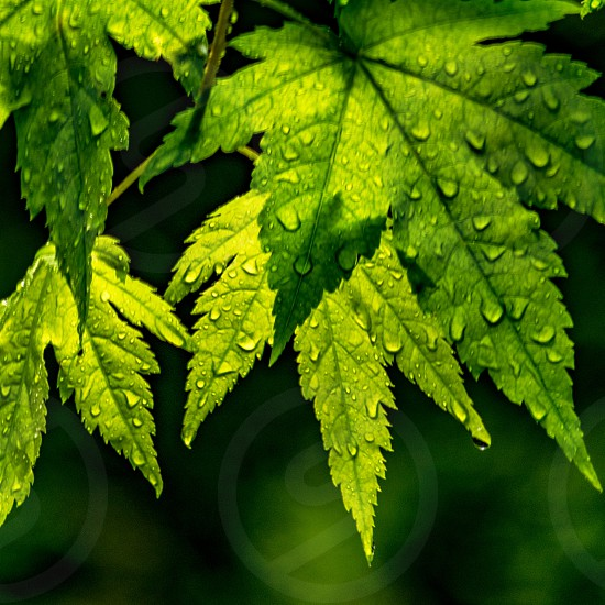 Spring leaves after the rain photo