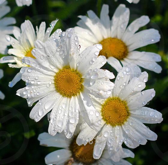 Daisy Dews photo