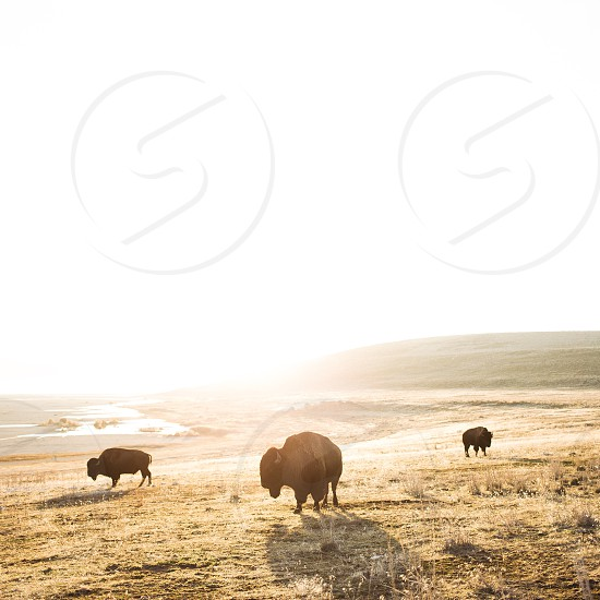 3 brown bisons on dried grass land during daytime photo