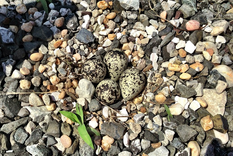 Nature nest birds sand piper eggs photo