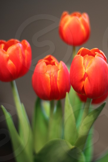 Tulips flowers red photo