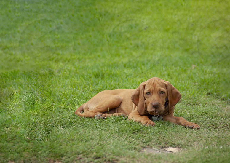 a brown puppy vizsla lying in the grass resting comfortably after playing in the backyard photo
