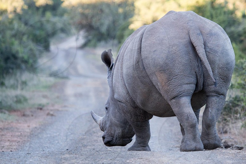 gray Rhinoceros photo
