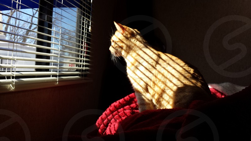 Cat sitting next to a window looking through the blinds photo