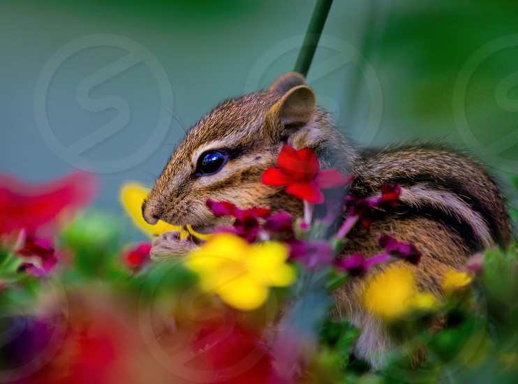 closeup photography of brown black and white chipmunk on yellow red and purple flowers photo