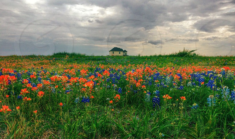Spring time is Blue Bonnet time photo