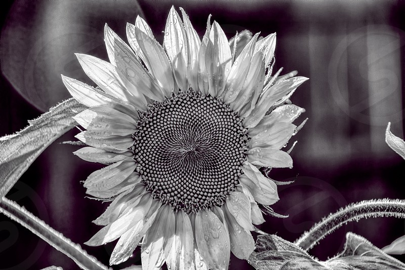 Sunflower in black and white.  photo