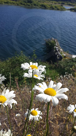 Daisy flower river photo