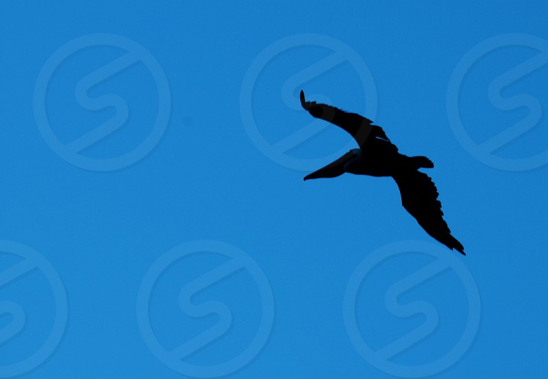 Silhouette of a flying pelican photo