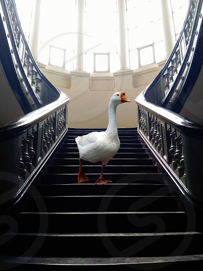 duck on staircase photo