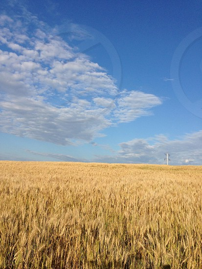 wheat grass field and white and blue sky photo