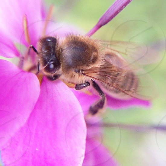 Bee on pink flower photo