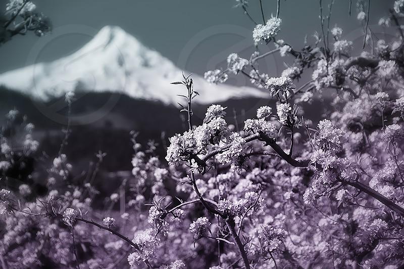 Mt Hood Oregon during cherry blossom season photo