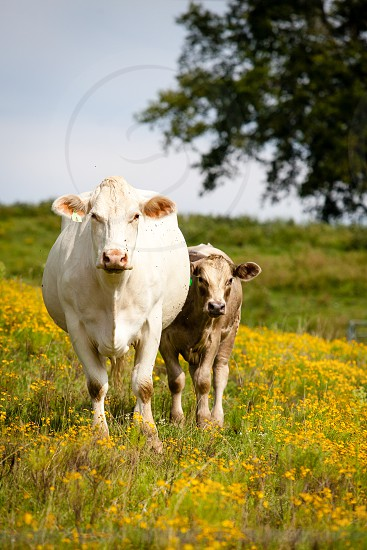 Farm animals in the pasture with flowers. photo
