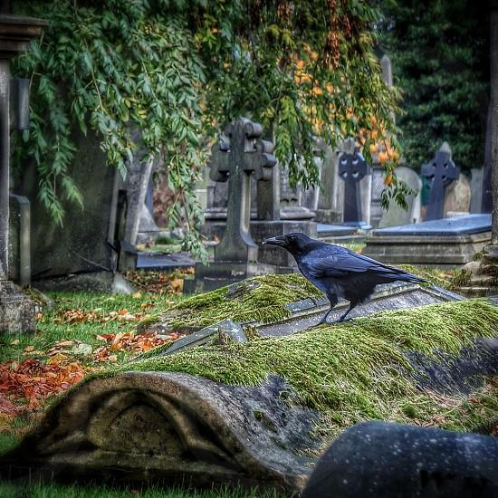 Crow on gravestone spooky Halloween vibe photo