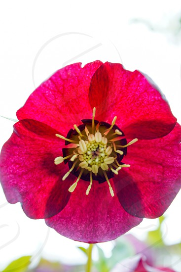 Closeup red hellebore photo