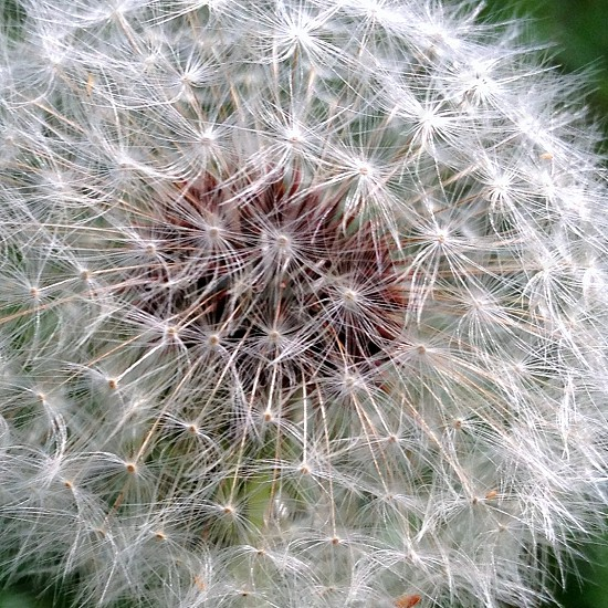 Dandelion fluff photo