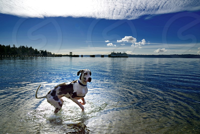 Water world puppy playing great dane ferry seascape photo