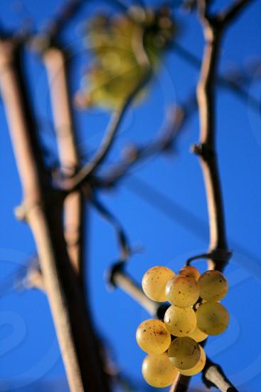 yellow grapes  photo