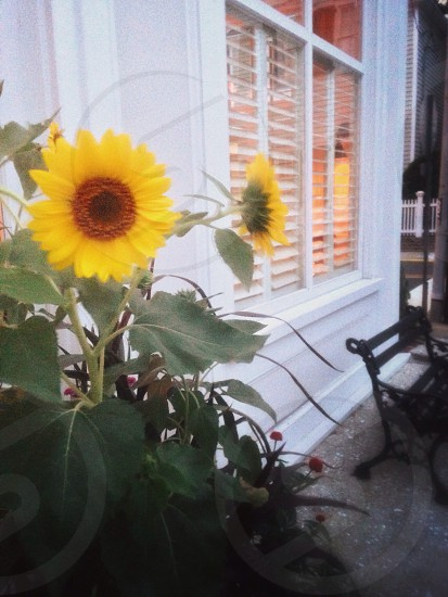 yellow and brown sunflower plant photo