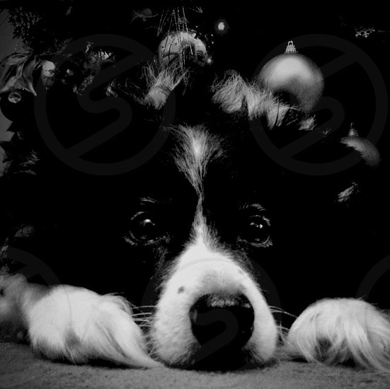 black and white long hair dog photo