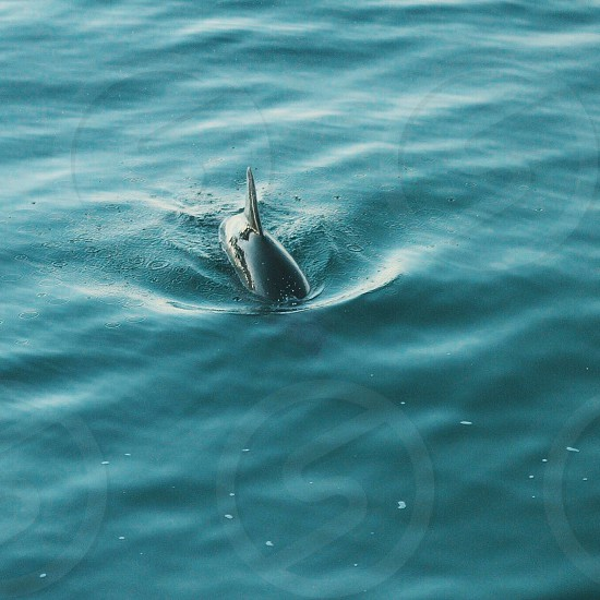 Wild dolphin  photo