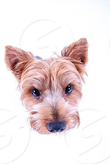 A yorkshire terrier in the studio. photo