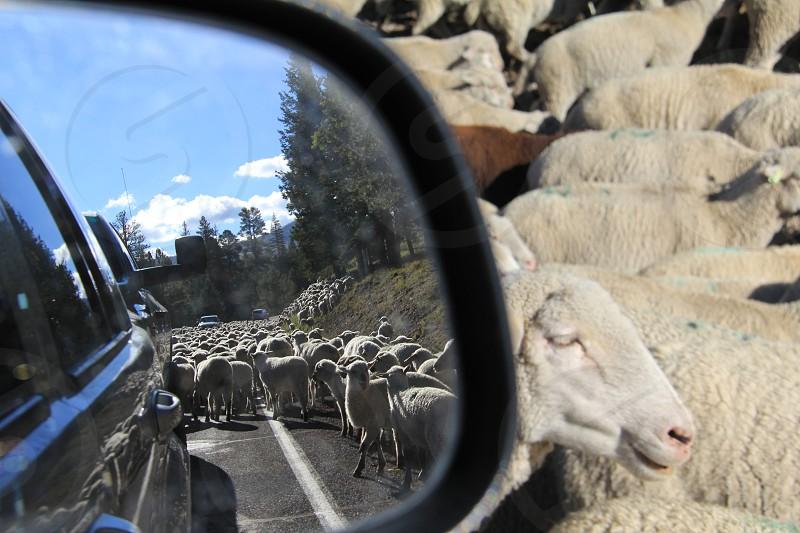 Sheep crossing photo