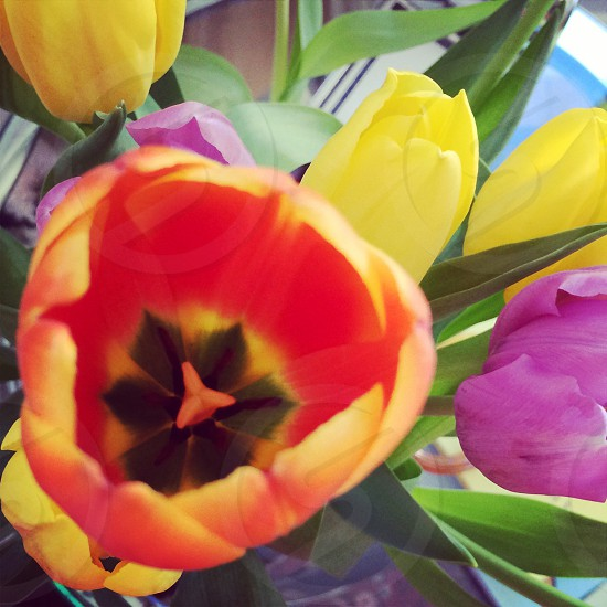 A close-up view of 'tulips'  photo