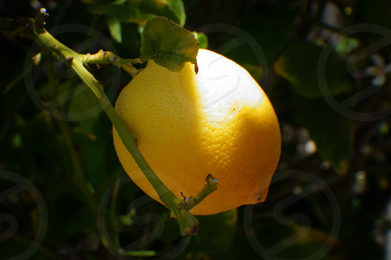 yellow lemon tree photo