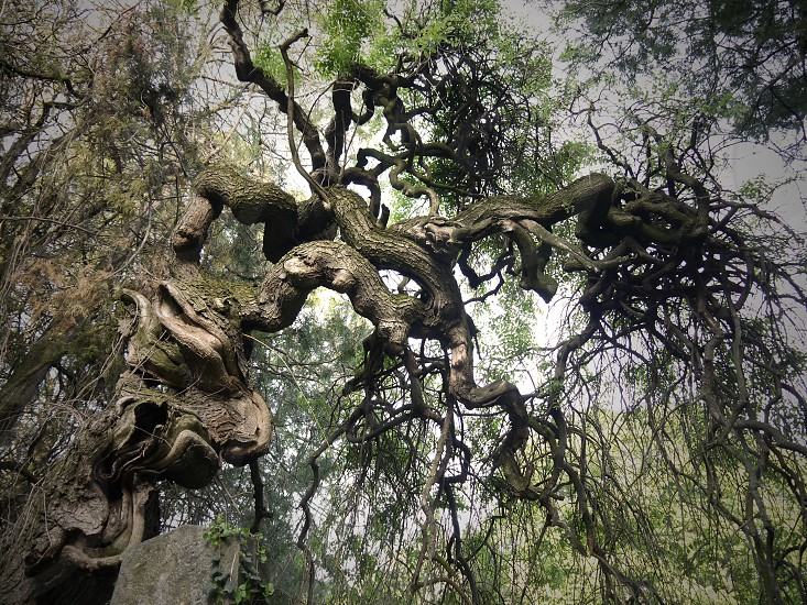 Old gnarled tree. Twisted tree in the cemetery. Old tree in the park photo