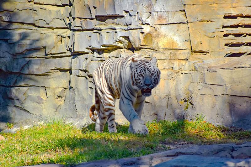 Tampa Florida. December 26  2018  White tiger walking on green meadow at Bush Gardens Tampa Bay Theme Park photo