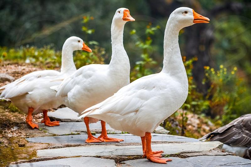 Ducks white ducks geese family of ducks birds wildlife Snow White ducks at lakeside lakeside  photo