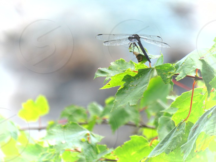 maple tree branches dragon fly natural light resting landscape summer photo
