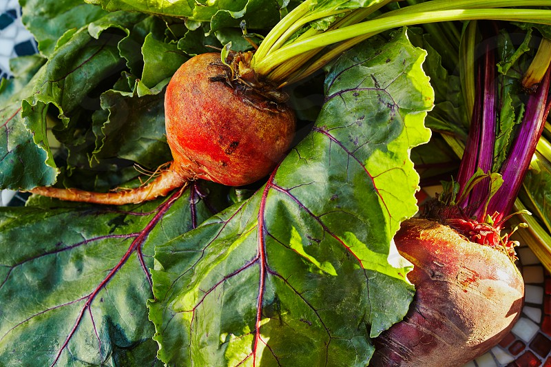 Golden and red beets on beet greens in evening light.  photo