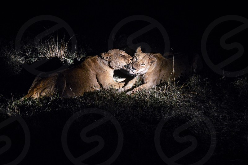 Lionesses licking each other clean after a very messy meal. photo