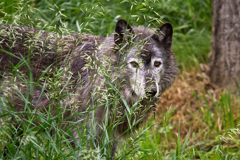A Grey Wolf at Calgary zoo Alberta photo