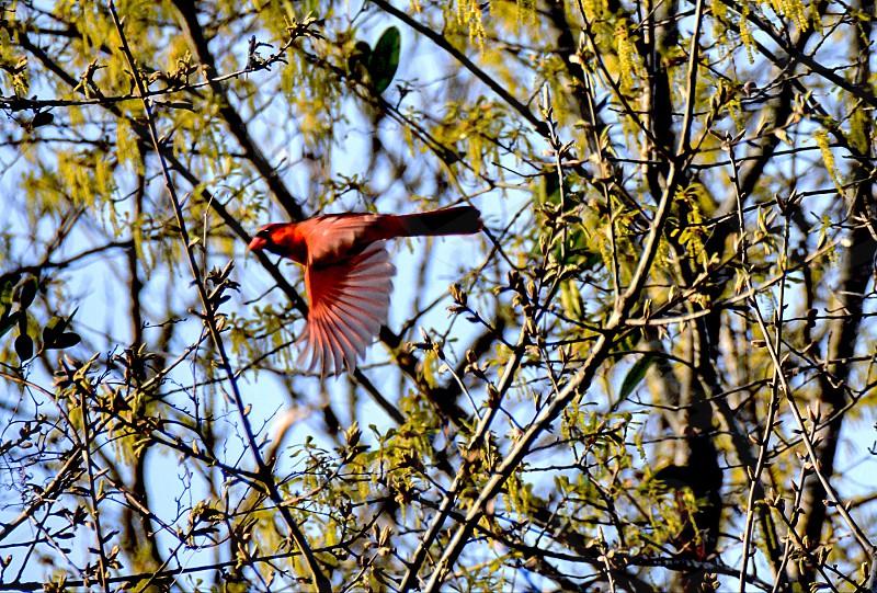 A red cardinal photo