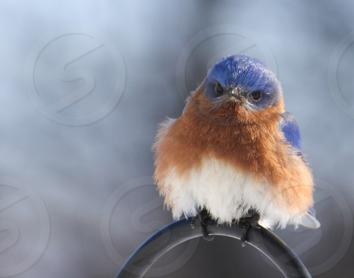 Bluebird of Grumpiness photo